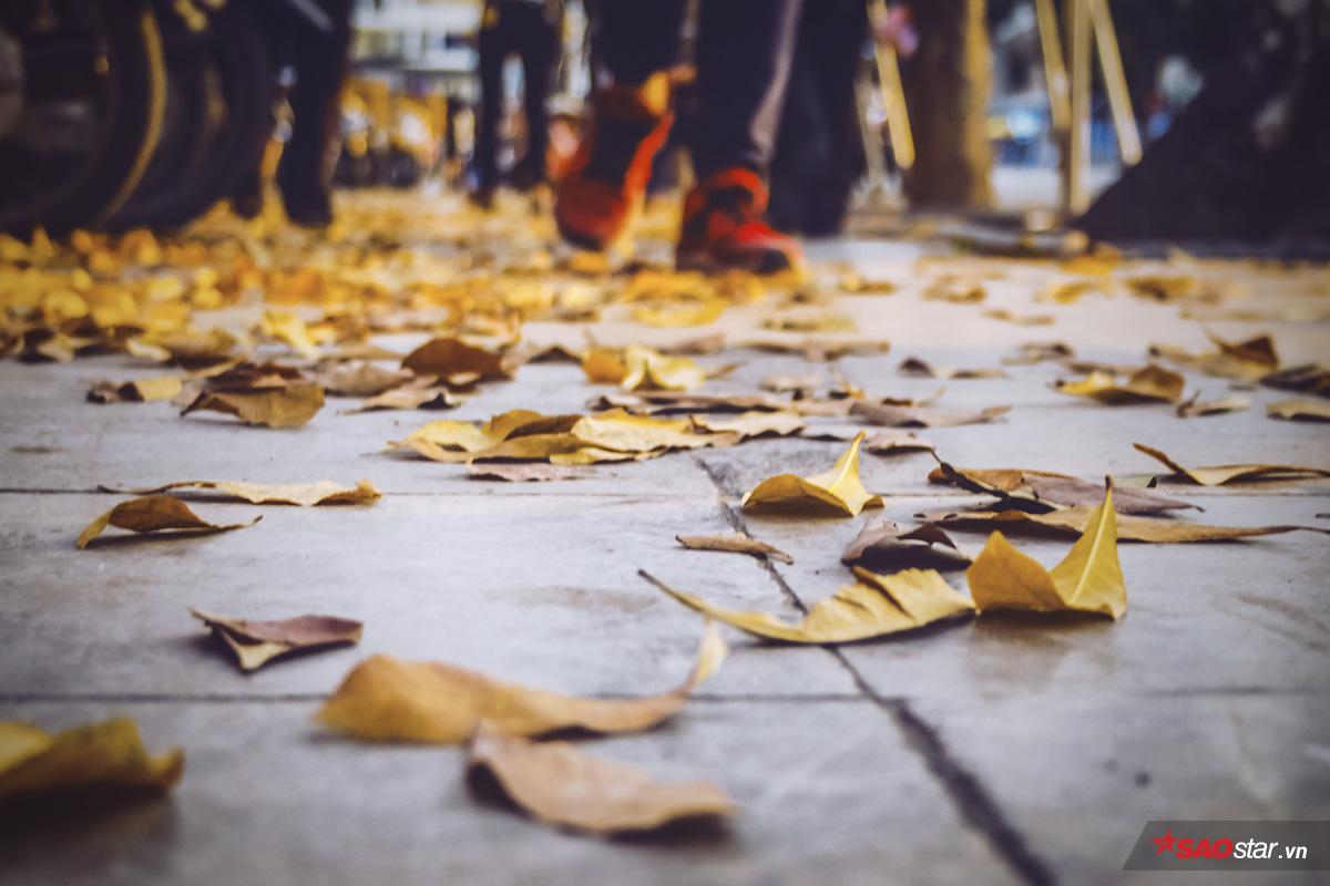 Nhuộm vàng góc trời Hà Nội mùa cây thay lá
