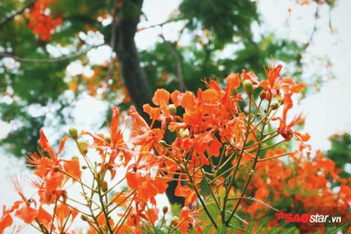 Những mùa phượng rực rỡ ở Sài Gòn