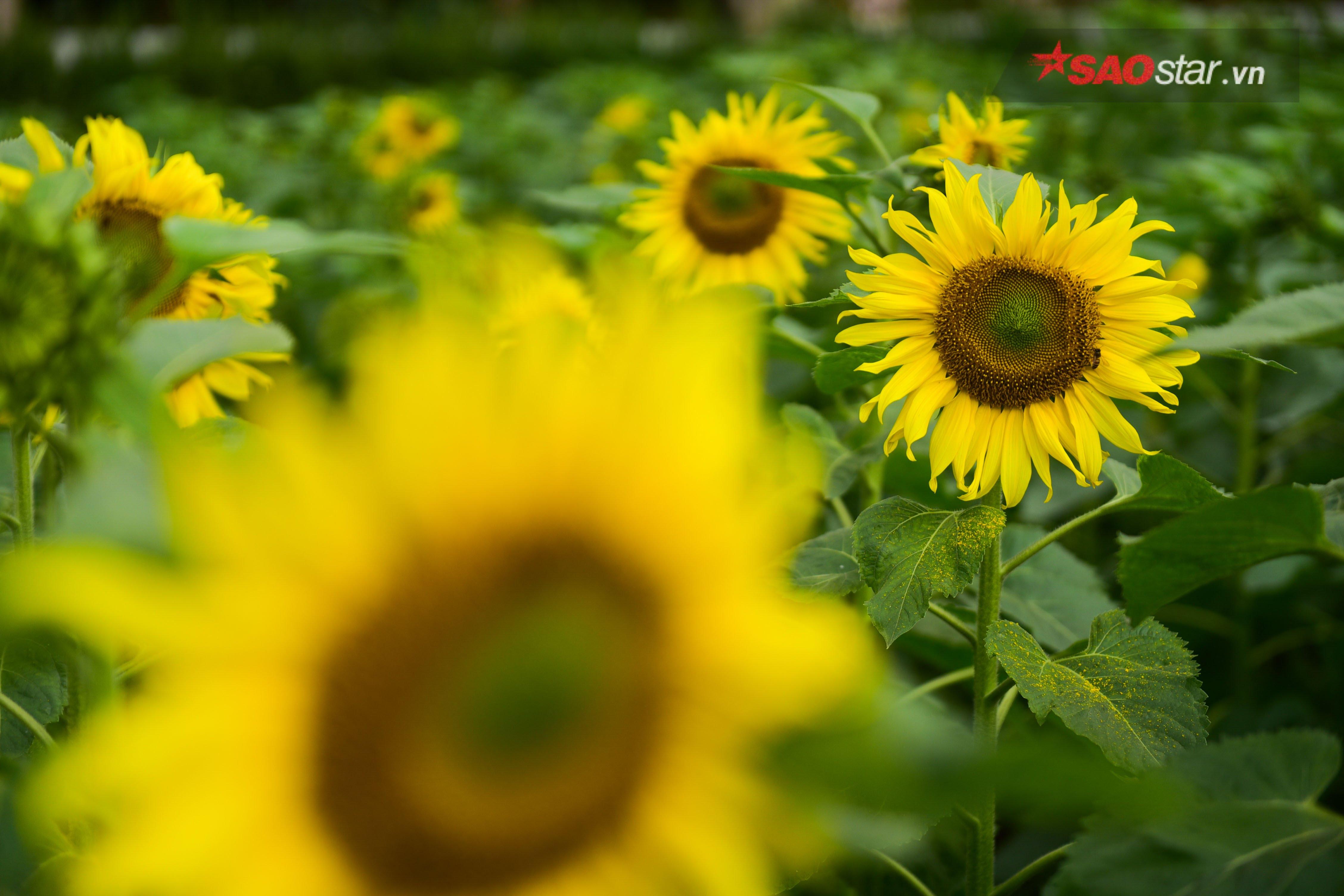 Ban quản lý Di tích cho biết mùa hoa sẽ kéo dài đến tết Nguyên đán để phục vụ người dân du xuân
