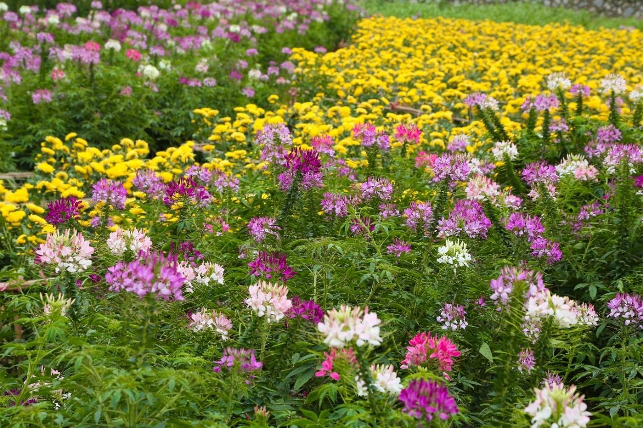 <em>Thung lũng hoa Hồ Tây</em> rực rỡ muôn sắc hoa.