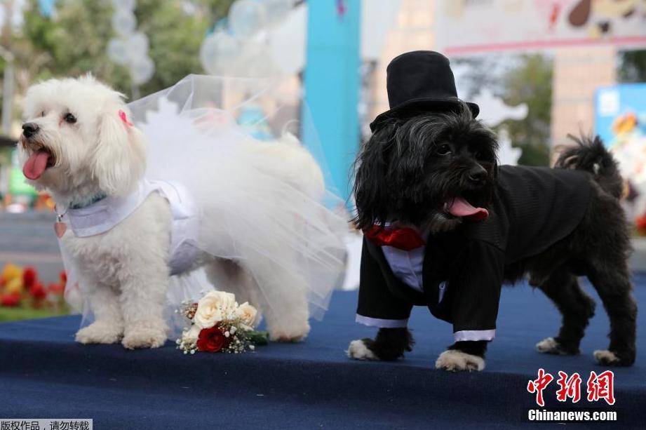 Không chỉ vậy, trong ngày này, nhiều chú chó còn được mặc lễ phục để tổ chức đám cưới.