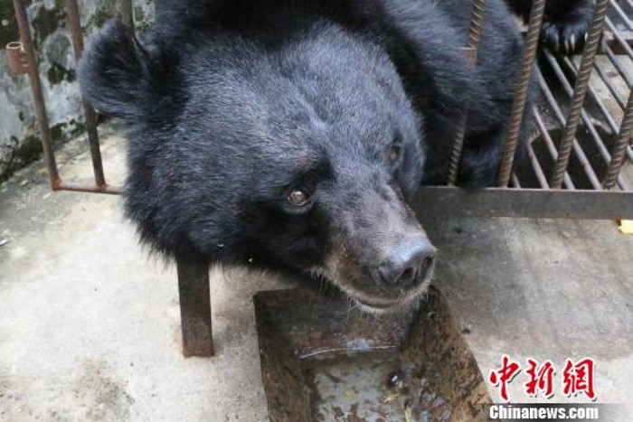 Sốc Khi Phát Hiện Chó Ngao Tây Tạng Nuôi Suốt 2 Năm Là Gấu đen