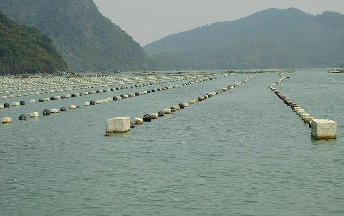 Những ngày này, nhiều hộ dân ở xã đảo Bản Sen, huyện Vân Đồn (Quảng Ninh) đang hối hả thu hoạch ngao hai cùi. Đây là loài nhuyễn thể được người dân nuôi khoảng 4 đến 5 năm gần đây và mang lại hiệu quả kinh tế cao.