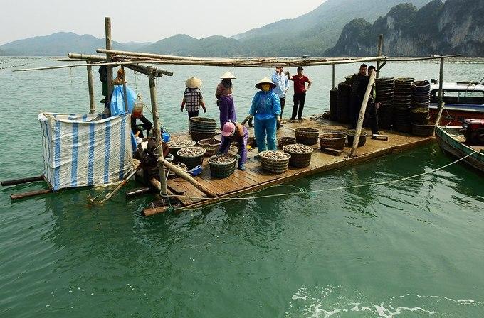 Xã Bản Sen hiện có 103 hộ nuôi ngao hai cùi, kết hợp nuôi thêm hàu, tu hài và cá… Người dân cho biết, vùng nước ở vịnh Bái Tử Long sạch sẽ và nhiều phù du nên ngao nhanh lớn, thịt ngọt thơm.