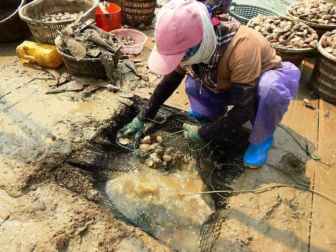 Chiếc bè dùng để thu hoạch ngao có một khoảng trống ở giữa được căng mảnh lưới làm sàng. Người dân kéo lồng lên đổ vào chiếc sàng này để cát rơi xuống biển, ngao đọng lại.
