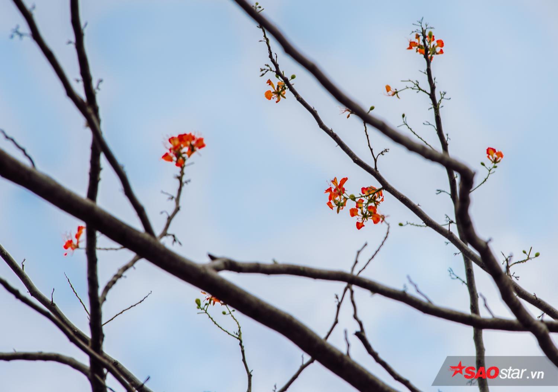 Những bông hoa phượng cuối cùng còn trên cành cây khẳng khiu.