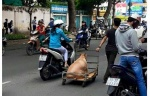 Chú chó béo đến nỗi phải đi bằng… xe kéo khiến cư dân mạng thích thú