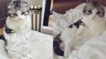 Mappu-chin: Cô mèo tai cụp 'hot' nhất nước Nhật
