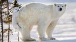 Chết mê với chùm ảnh chú gấu Bắc cực quấn quít ôm mông mẹ