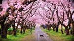 200 cây hoa anh đào Nhật sẽ được trồng tại công viên Hòa Bình