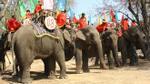 Xót xa hình ảnh voi Tây Nguyên bị kẻ xấu chặt đuôi, nhổ lông vì hám lợi