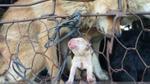 Rớt nước mắt với bức ảnh 'Chó mẹ sinh con trên đường đến lò mổ'