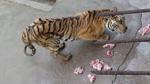 6.000 con hổ đang bị bỏ đói đến chết để lấy xương làm rượu cho nhà giàu