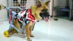 Cô gái 9X làm xe lăn cho chó tàn tật, cứu hộ thú cưng bị bỏ rơi
