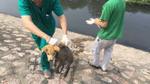 Mắc bạo bệnh, chú chó bị chủ vứt xuống sông Tô Lịch