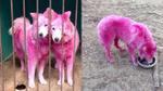 Không còn 'hái ra tiền', ba chú chó nhuộm lông sặc sỡ bị bắn và bỏ rơi giữa rừng