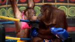 """Hài hước: Trận boxing """"tỷ đô"""" của…khỉ"""