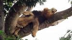 Chú sư tử leo lên cây nằm vắt vẻo cả ngày vì sợ côn trùng đốt