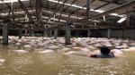 Xót xa trước cảnh hàng nghìn con lợn nổi lềnh bềnh trong nước lũ