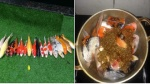 'Nồi cá Koi kho tương' cả triệu bạc và chuyện đau lòng của người nuôi cá sau mưa bão
