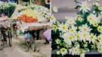 Cúc hoạ mi - những 'Thiên sứ' chở mùa đông về Hà Nội