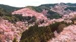 Đến thăm đồi hoa anh đào đẹp chẳng kém gì 'rừng đào mười dặm' của Bạch Thiển