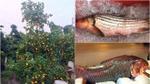 Đại gia Việt vung tiền tiêu Tết: Chi trăm triệu mua cá 'khủng', đổi cả cây vàng lấy quất cảnh trưng bày