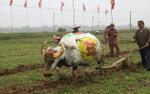 Tận mắt chiêm ngưỡng 10 con trâu được họa sĩ vẽ sặc sỡ tham gia lễ hội Tịch điền