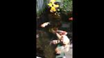 Clip: Đàn cá vàng mập núc ních đang bơi tung tăng khiến dân mạng đặt câu hỏi: 'Đây là cá heo à?'