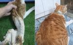 Mèo hoang sắp chết với nhiều vết thương thối rữa lột xác thành mèo nhà béo ú