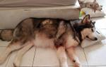 Câu chuyện 'chú chó Alaska cứu chủ thoát chết khỏi hỏa hoạn ở chung cư Carina' gây xúc động cư dân mạng