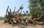 Nguồn gốc bí hiểm của 3 cây 'quái thú' bị kiểm lâm tạm giữ