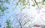Sài Gòn tháng tư là mùa kèn hồng rợp trời nồng nàn và lãng đãng thế này đây!