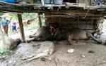 Sét đánh chết 4 con trâu, dân bản chung nhau mua thịt giúp đỡ gia đình