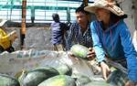 Quảng Nam: Người dân nuốt nước mắt bên 3.000 tấn dưa hấu 'thoi thóp' chờ cứu