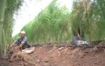 Clip: Vườn măng tây cho thu nhập hàng triệu đồng mỗi ngày ở Hà Nội