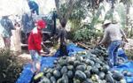 Kêu gọi 'giải cứu' dưa hấu ở Quảng Nam: 'Hết bay' hơn 1.000 tấn dưa
