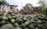 Hơn 2.000 tấn dưa hấu Quảng Nam được 'giải cứu'