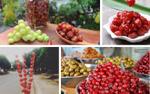 Làm thế nào mà loại quả chua như chùm ruột lại khiến hội mê ăn phát cuồng đến thế