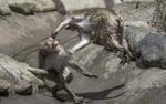 Khỉ đánh nhau chuyên nghiệp như võ sĩ khiến nhiếp ảnh gia được phen 'rửa mắt'