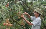 Bất ngờ về 'cây tiền tỷ' mới ngọt ngào trên đất Tây Nguyên