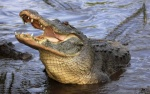 Phát hiện cánh tay người trong bụng cá sấu dài 3 m
