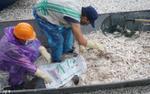 Gần trăm người mỏi tay vớt hàng tấn cá chết nổi trắng hồ Tây