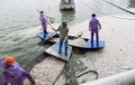 Hà Nội đánh bắt cá Hồ Tây để giải quyết tình trạng cá chết