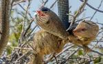 Cầy mangut truy sát, kết liễu rắn bằng nhát cắn cực độc ngay trên cây