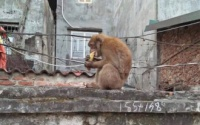 Hàng trăm người gặp phiền toái vì bị khỉ hoang quậy phá