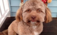 Chú chó có khuôn mặt giống hệt người khiến ai nấy đều sửng sốt