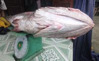 Cá lạ nặng 10kg mắc lưới, nghi cá sủ vàng