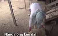 Nắng hạn khiến cừu Ninh Thuận chết liên tục