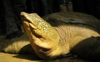Phát hiện thêm cá thể cùng loài với rùa Hoàn Kiếm ngoài tự nhiên